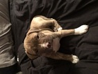 American Pit Bull Terrier Puppy For Sale in MUNDELEIN, IL,