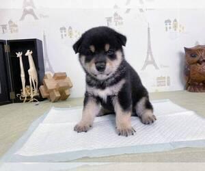 Shiba Inu Puppy for sale in TACOMA, WA, USA
