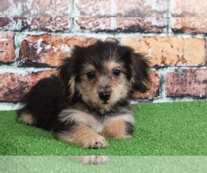 Morkie Puppy for Sale in BEL AIR, Maryland USA