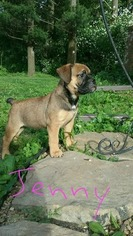 Olde English Bulldogge Puppy For Sale in CONFLUENCE, PA, USA