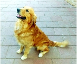 Father of the Golden Retriever puppies born on 12/12/2020