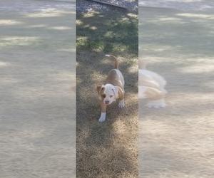 American Bulldog Puppy for Sale in AURORA, Colorado USA