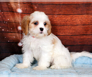 Cava-Tzu Puppy for sale in PENNS CREEK, PA, USA