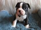 Faux Frenchbo Bulldog Puppy For Sale in EATONTON, GA, USA