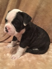 Olde English Bulldogge Puppy For Sale in JENNINGS, LA