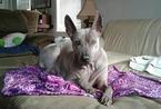 Thai Ridgeback Dog For Adoption in BRIDGEPORT, PA, USA