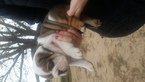Bulldog Puppy For Sale in EUFAULA, OK, USA