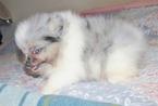 Pomeranian Puppy For Sale in SKIATOOK, OK, USA