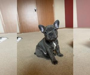 French Bulldog Puppy for Sale in CHEHALIS, Washington USA