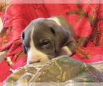 Puppy 7 Great Dane