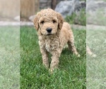Labradoodle Puppy For Sale in ARVADA, CO, USA