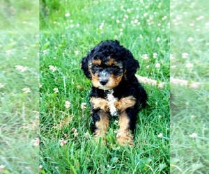 Goldendoodle-Poodle (Miniature) Mix Puppy for Sale in DUNDEE, Ohio USA