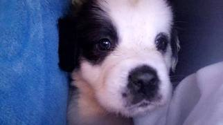Saint Bernard Puppy For Sale in WINDSOR, ME