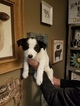 Border Collie Puppy For Sale in ORO VALLEY, Arizona,