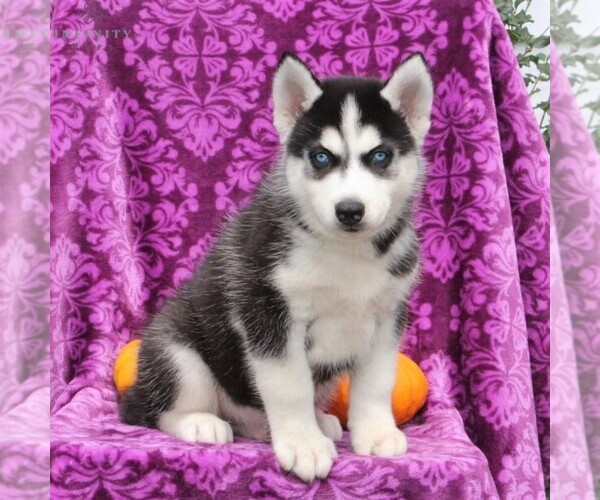 View Ad: Siberian Husky Puppy for Sale near In New Zealand
