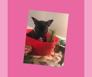 French Bulldog Puppy for sale in LIGNUM, VA, USA