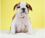 Puppy 13 Bulldog