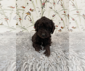 Goldendoodle-Poodle (Standard) Mix Puppy for Sale in HILLSBORO, Ohio USA
