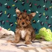 Yorkie-Poo-Yorkiepoo Mix Puppy For Sale in WINSTON SALEM, NC, USA