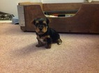 Yorkshire Terrier Puppy For Sale in INVERNESS, FL, USA