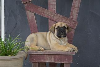 Presa Canario Puppy for sale in FREDERICKSBG, OH, USA