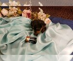 Small #14 Yorkshire Terrier
