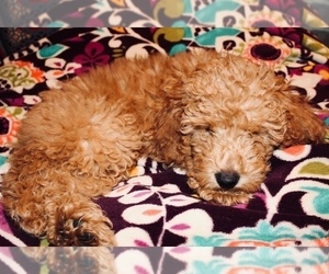Miniature Labradoodle Puppy for Sale in MANHEIM, Pennsylvania USA