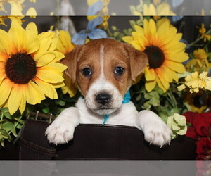 Jack Russell Terrier Puppy for Sale in ANTLERS, Oklahoma USA