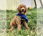 Small Photo #5 Goldendoodle Puppy For Sale in SALEM, OR, USA