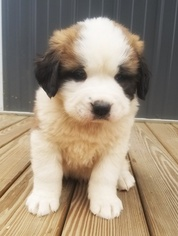 Saint Bernard Puppy For Sale in LANCASTER, MO, USA