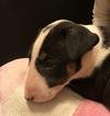 Small #7 Bull Terrier