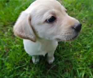 Labrador Retriever Puppy for sale in MATTAPOISETT, MA, USA