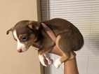 Chihuahua Puppy For Sale in DOVER, DE,