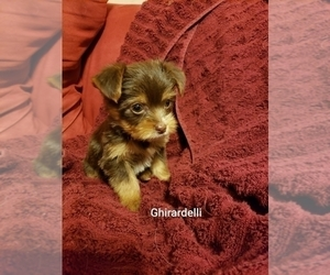 Yorkshire Terrier Puppy for Sale in SAINT PETERSBURG, Florida USA