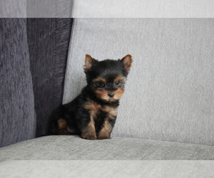 Yorkshire Terrier Puppy for sale in MANHATTAN, NY, USA