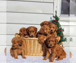 Small #1 Goldendoodle (Miniature)