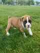 Boxer Puppy For Sale in APPLE CREEK, OH, USA