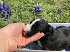 Border Collie Puppy For Sale in CASTROVILLE, Texas,
