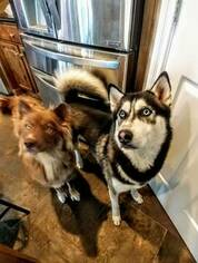 Mother of the Siberian Husky puppies born on 12/08/2018