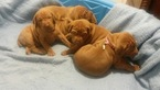 Vizsla Puppy For Sale in MARTINSVILLE, VA