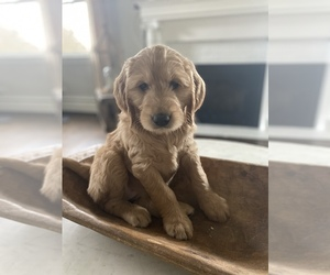 Goldendoodle Dog for Adoption in HULMEVILLE, Pennsylvania USA