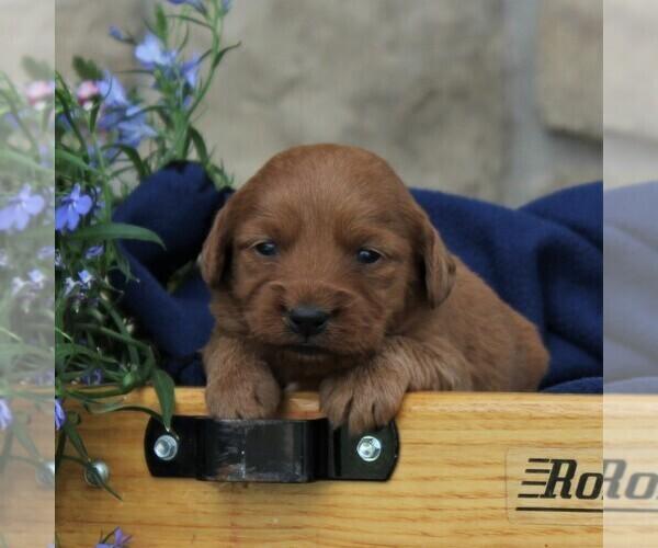 View Ad: Labradoodle-Poodle (Miniature) Mix Puppy for Sale ...