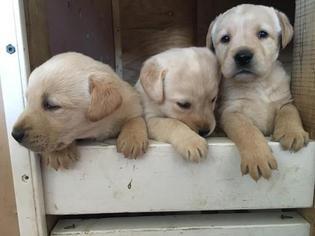 View Ad Labrador Retriever Puppy For Sale North Carolina Hickory Usa