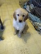 Golden Retriever Puppy For Sale in WEST WARWICK, RI, USA