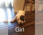 Small #15 American Bulldog