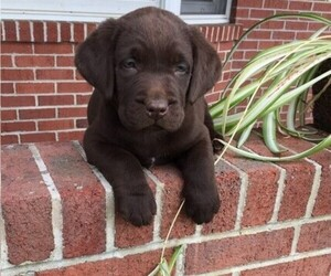 Labrador Retriever Puppy for sale in MERCERSBURG, PA, USA