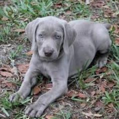 Weimaraner Puppy For Sale in BUFORD, GA, USA