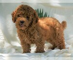 Mini Poodle For Sale Dundee OH Male Ricco