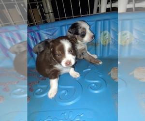 Australian Shepherd Puppy for sale in CLAREMORE, OK, USA