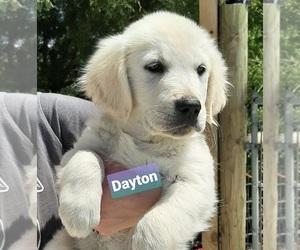 Golden Retriever Puppy for sale in BLOUNTVILLE, TN, USA